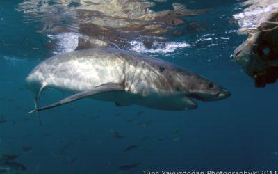 büyük beyaz köpek balığı ve ayışığı dalış merkezi