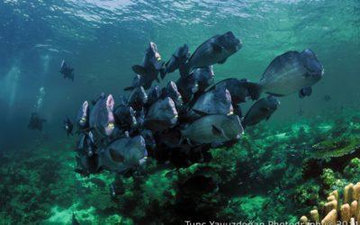 sipadan barracuda point bump-head parrot fish