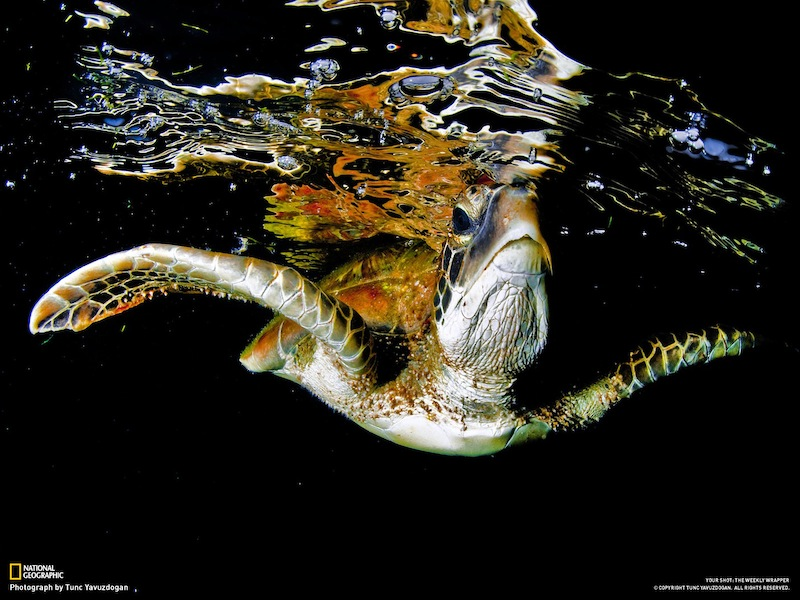Turtle with black background on national geographic magazine with tunc yavuzdogan