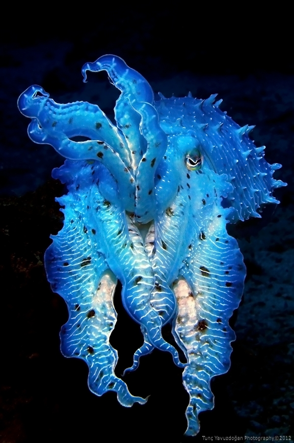 Blue Cuttlefish at Sipadan Island