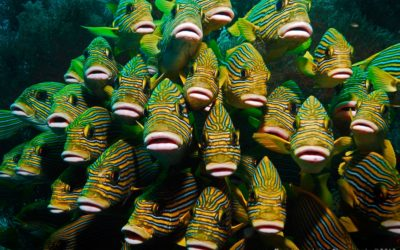 School of sweetlips in raja Ampat Mikes Point