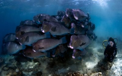 school of bumphead parrot fish at sipadan barracuda point