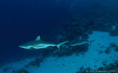 Sharks in palau