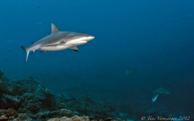 Pregnant shark in palau